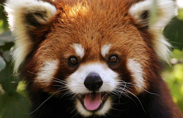 red-panda_1455465i